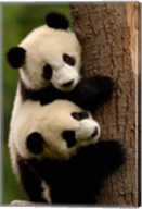 Giant Panda Babies, Wolong China Conservation and Research Center for the Giant Panda, Sichuan Province, China Fine-Art Print