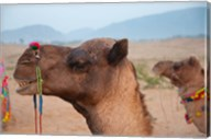Close-up of a camel, Pushkar, Rajasthan, India. Fine-Art Print