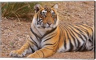 Portrait of Royal Bengal Tiger, Ranthambhor National Park, India Fine-Art Print