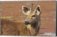 Young Sambar stag, Ranthambhor National Park, India Fine-Art Print