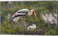 Painted Stork birds, Keoladeo National Park, India Fine-Art Print