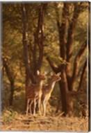 Spotted Deers watching Tiger, Ranthambhor NP, India Fine-Art Print