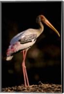 Painted Stork, Bharatpur, Keoladeo National Park, Rajasthan, India Fine-Art Print