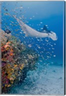 Manta ray, fish and coral, Raja Ampat, Papua, Indonesia Fine-Art Print