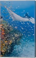 Manta ray, fish and coral, Raja Ampat, Papua, Indonesia Fine-Art Print