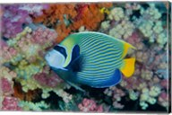 Underwater scene of angelfish and coral, Raja Ampat, Papua, Indonesia Fine-Art Print