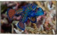Mandarin fish Fine-Art Print