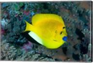 Angelfish swims in coral reef Fine-Art Print