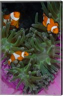 Clownfish swim among anemone tentacles, Raja Ampat, Indonesia Fine-Art Print
