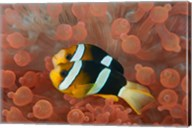 Two anemonefish in protective anemone, Raja Ampat, Papua, Indonesia Fine-Art Print