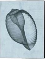 Banded Tun Shell (light blue) Fine-Art Print