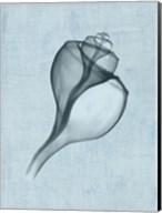 Channelled Whelk (light blue) Fine-Art Print