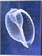 Banded Tun Shell (indigo) Fine-Art Print