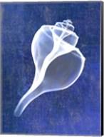 Channelled Whelk (indigo) Fine-Art Print