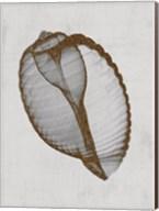 Banded Tun Shell Fine-Art Print
