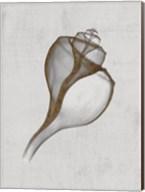 Channelled Whelk Fine-Art Print