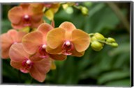Singapore. National Orchid Garden - Peach Orchids Fine-Art Print