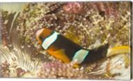 Clark's Anemonefish, Philippines Fine-Art Print