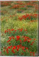 Red Poppy Field in Central Turkey during springtime bloom Fine-Art Print