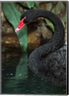 Australia, Black Swan (Cygnus atratus) Fine-Art Print