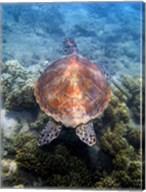 Green Turtle, Low Isles, Great Barrier Reef, North Queensland, Australia Fine-Art Print