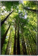 Redwood Forest, Rotorua, New Zealand Fine-Art Print