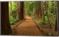 Path through Redwood Forest, Rotorua, New Zealand Fine-Art Print