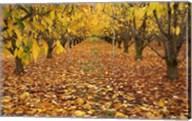 Orchard, Roxburgh, Central Otago, South Island, New Zealand Fine-Art Print