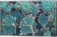 Echeveria Elegans Succulents, New Zealand Fine-Art Print