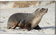 New Zealand Sea Lion Pup, Sandfly Bay, Dunedin Fine-Art Print