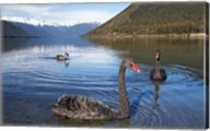 New Zealand, South Island, Nelson Lakes, Black Swan birds Fine-Art Print