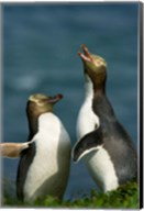 Yellow-Eyed Penguin, Enderby Is, Auckland, New Zealand Fine-Art Print