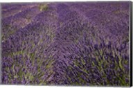 Lavender Farm, near Cromwell, Central Otago, South Island, New Zealand (horizontal) Fine-Art Print