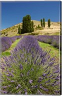 Lavender Farm, near Cromwell, Central Otago, South Island, New Zealand (vertical) Fine-Art Print