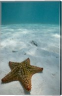 Bahamas, Marine Life, Sea star, Golden Rock Beach Fine-Art Print