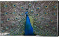 Bahamas, Nassau, Indian Peacock patterns Fine-Art Print