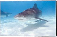 Tiger Sharks, Northern Bahamas Fine-Art Print