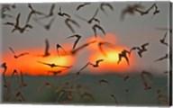 Mexican Free-Tailed Bats, Concan, Texas, USA Fine-Art Print