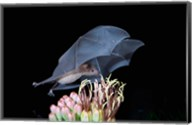 Leafnosed Fruit Bat, Arizona, USA Fine-Art Print