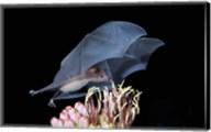 Leafnosed Fruit Bat, Arizona, USA Fine-Art Print