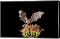 Lesser Long-nosed Bat, Tuscon, Arizona Fine-Art Print