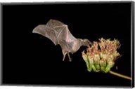 Lesser Long-nosed Bat Fine-Art Print