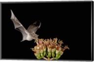Mexican Long-tongued Bat, Agave Blossom, Arizona Fine-Art Print