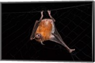 Fishing Bat, Iwokrama Forest Reserve, Guyana Fine-Art Print
