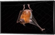 Fishing Bat, Iwokrama Forest Reserve, Guyana Fine-Art Print