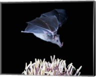Leafnosed fruit bat, agave, Tucson, Arizona, USA Fine-Art Print