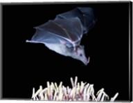Leafnosed fruit bat, agave, Tucson, Arizona, USA Fine-Art Print