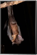 USA, Pennsylvania, Giant Fruit Bat Fine-Art Print