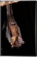 USA, Pennsylvania, Giant Fruit Bat Fine-Art Print