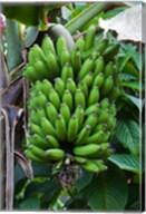 Cuba, Topes de Collantes banana fruit tree Fine-Art Print